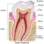 components of a tooth illustrated